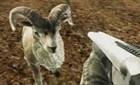 Vahşi Keçi Avı